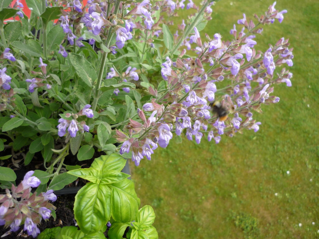 blooming sage with bee