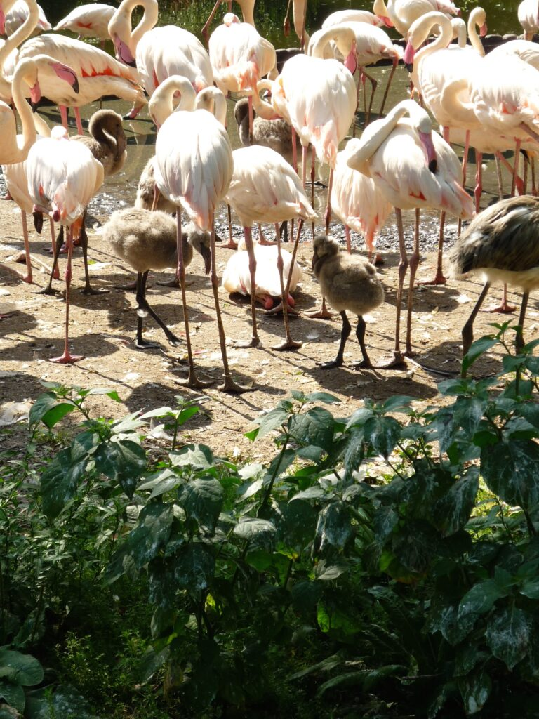 Baby gray flamingoes in a flock of pink adults.