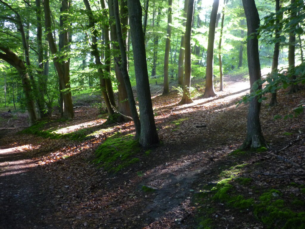 Diagonal beams of sunlight pierce a shady deciduous forest. Germany 2016.