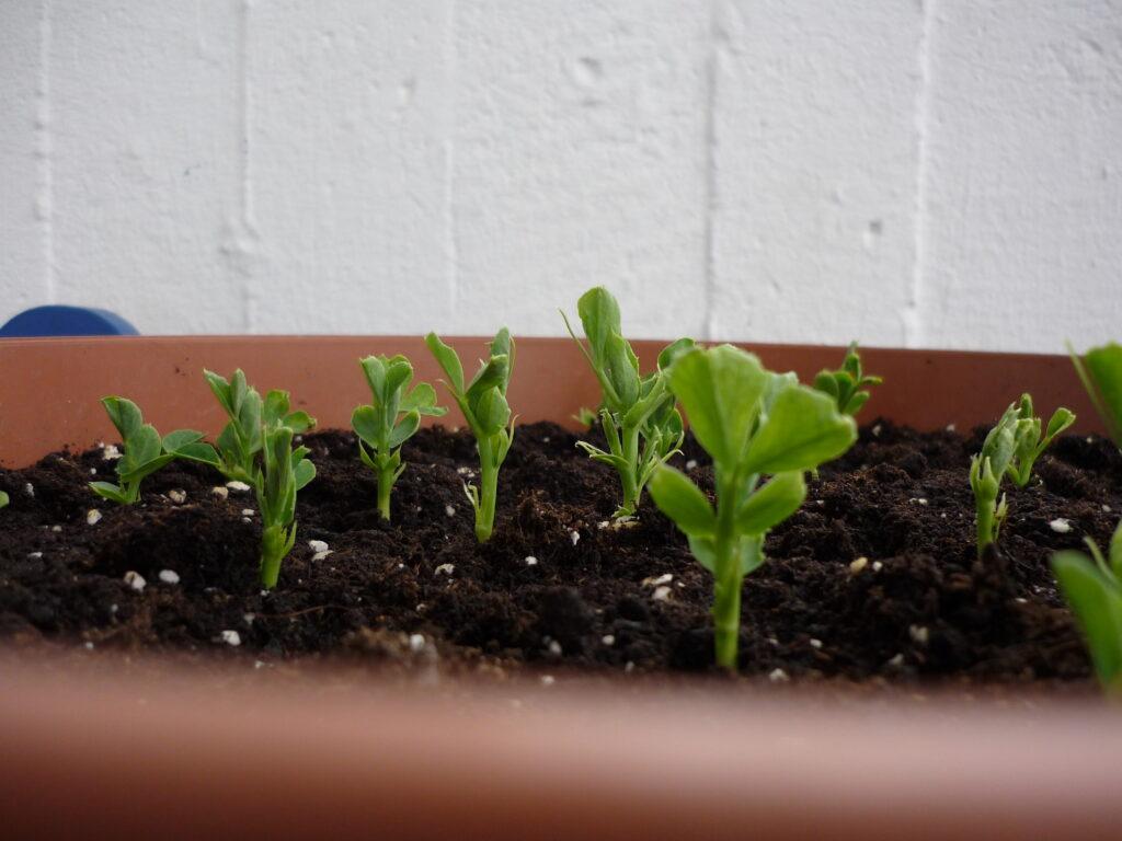 Snow pea seedlings in a pot.