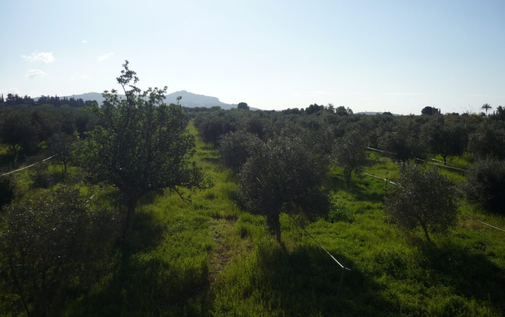 grove of 500 olive trees in Sicily under a blue sky