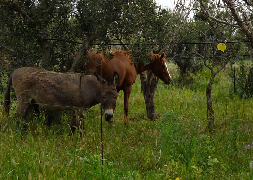 Horse and donket grazing among the olive trees. Sicily.