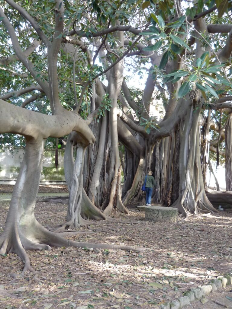 Tree like a cathedral, with flying buttress sort of trunks. Huge canopy of leaves and the trunks more than twice the height of a person.