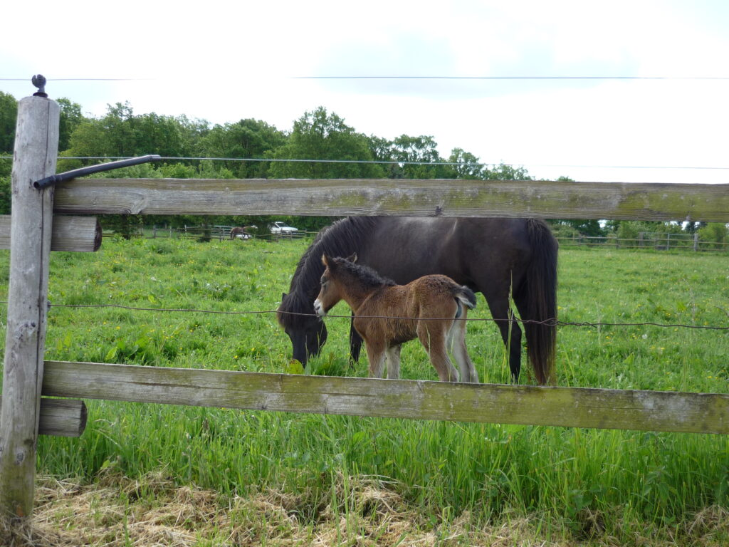 2-day-old foal standing next to mare cropping grass in a green meadow.