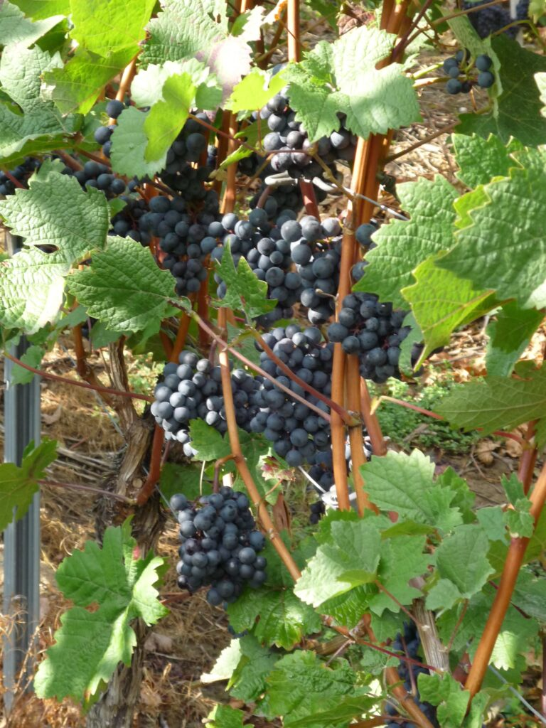 Grapes on the vine that are so ripe they are almost black.