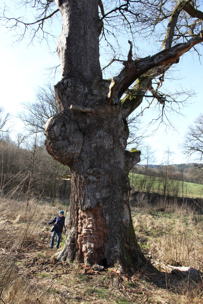 Battered oak with huge gall, blasted branches, lost bark and holes that shelter who knows what.