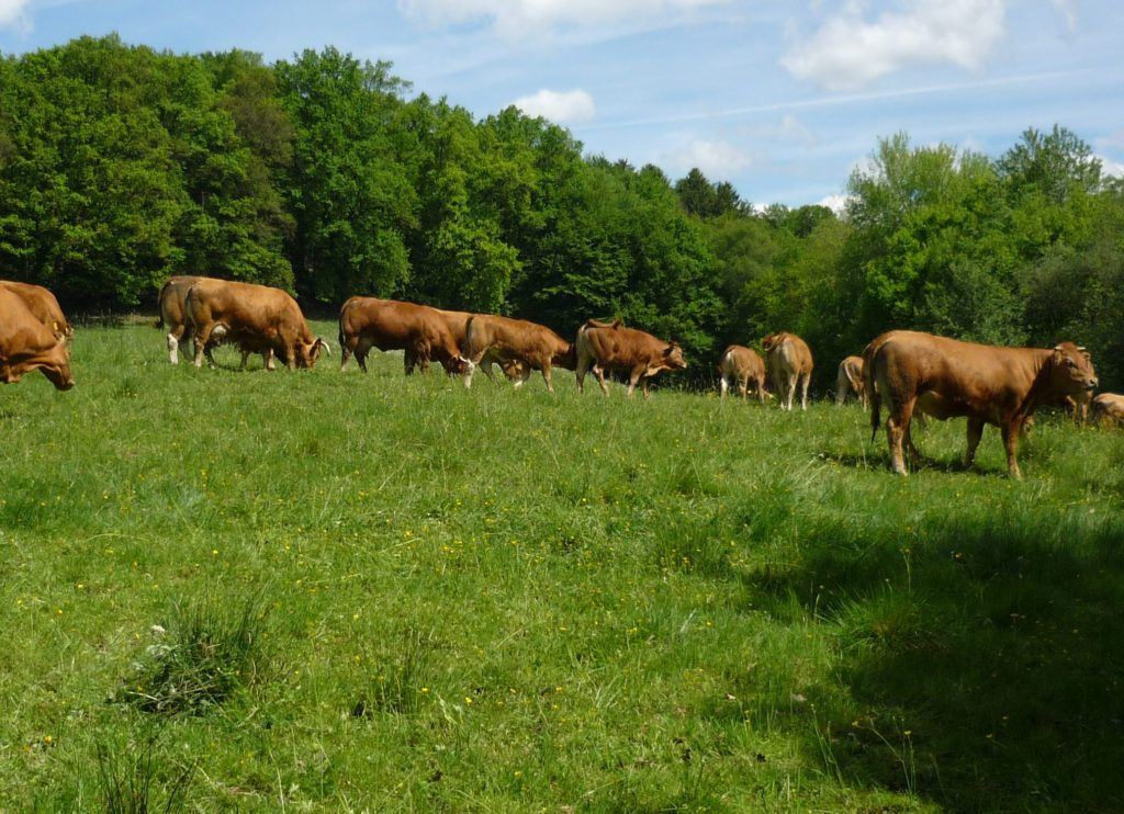 Brown cows and a bull in a herd grazing in a meadow.