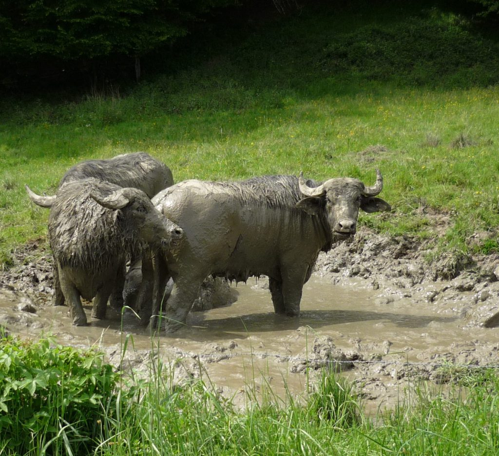 """Water buffaloes coated in gray mud, standing in a deep mud puddle """"bathtub"""""""