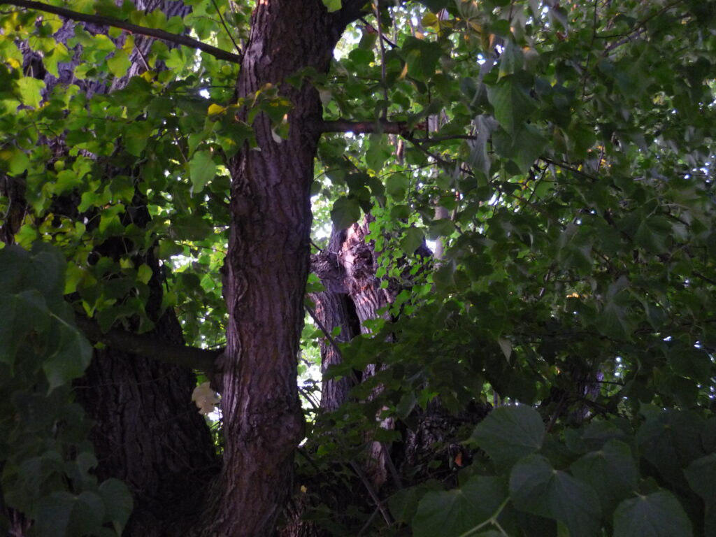 Looking up into the branches and green leaves of monster tree