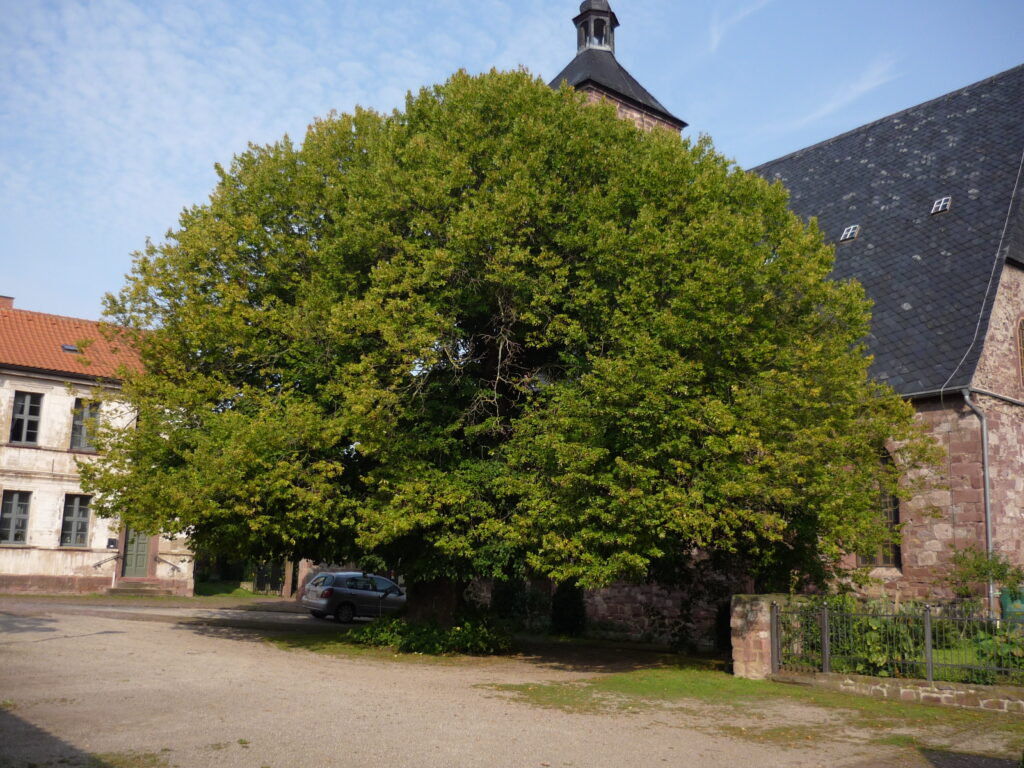 1000 year old tree in Germany
