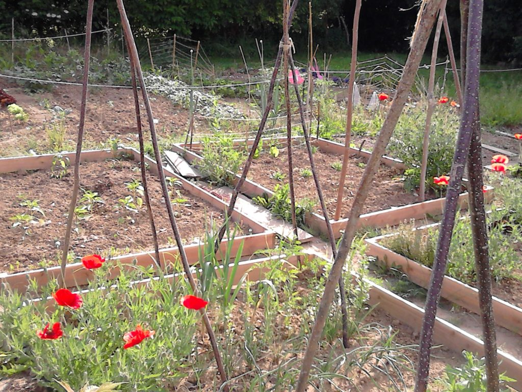 garden bed in early spring, no weeds, but red poppies blooming