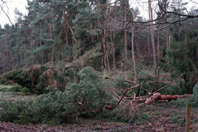 Broken and fallen pine trees in the forest after extreme winds