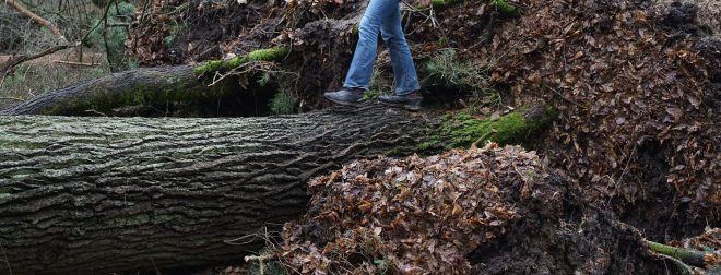 person walking across downed oak log like a natural bridge