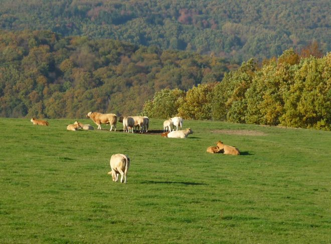 Cows resting and grazing in a beautiful green meadow with the hills behind changing colors for fall.